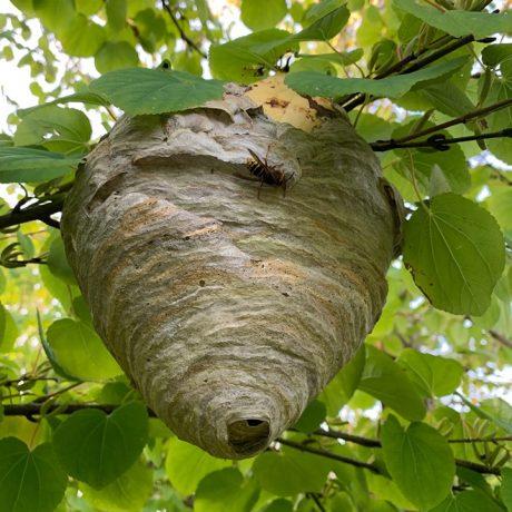 Sådan kan et fint hvepsebo se ud! Her ses et vi fjernede fra en villa i Vedbæk.
